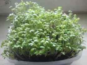 Кресс-салат. Полезные свойства. Выращивание на подоконнике