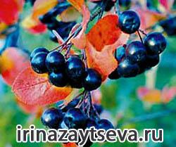 Черноплодная рябина. Полезные свойства