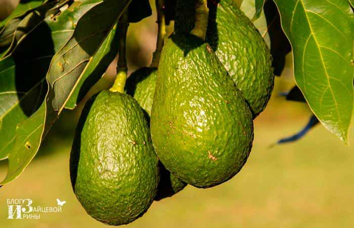 Авокадо фото 2