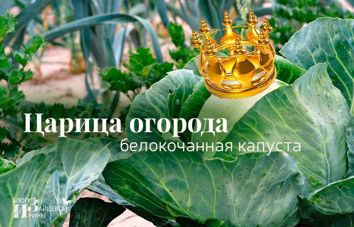 Белокочанная капуста – царица огорода