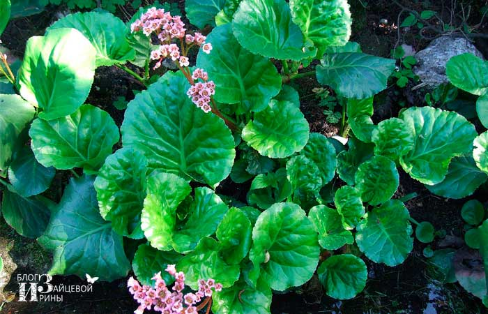 Растение бадан