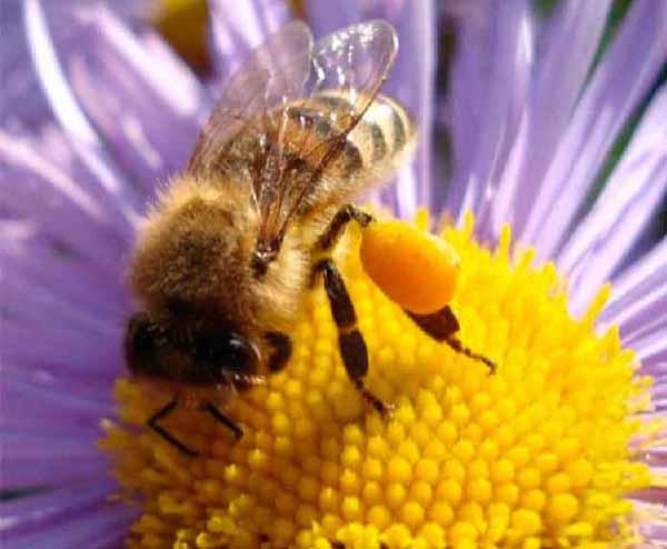 Цветочная пыльца. Полезные свойства. Лечение. Применение
