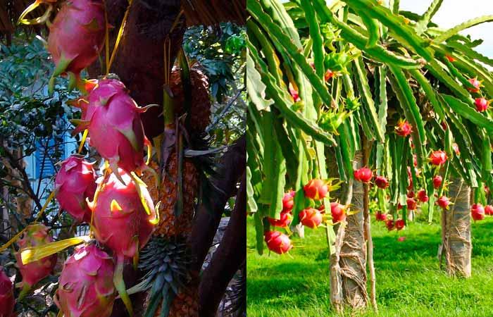 Драконий фрукт фото 4