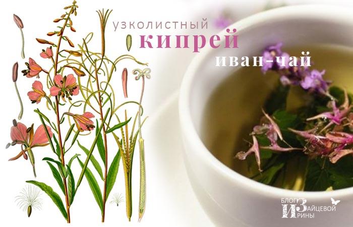 Иван – чай. Полезные свойства. Противопоказания