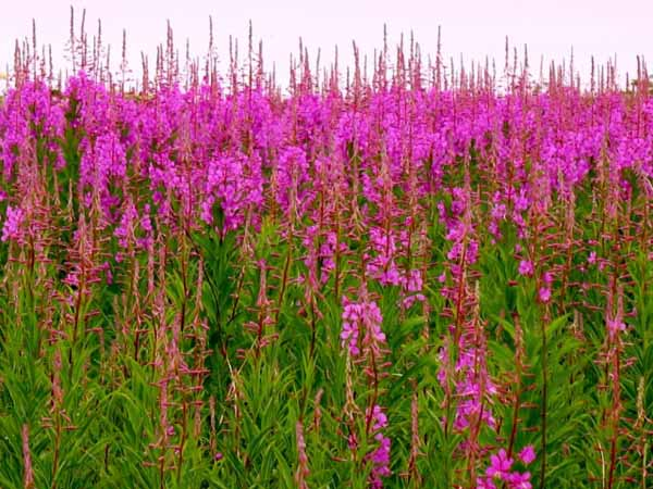 іван чай трава фото