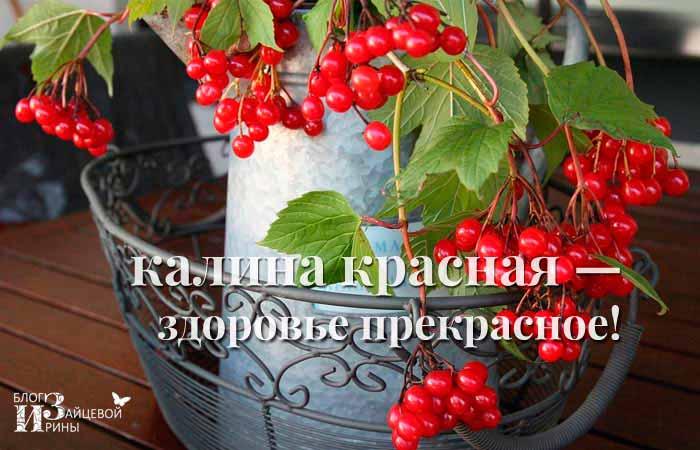 Калина красная – здоровье прекрасное!