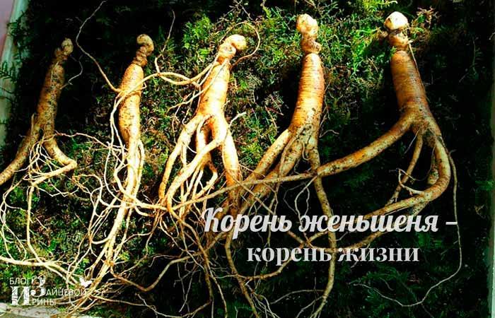 Корень женьшеня — корень жизни