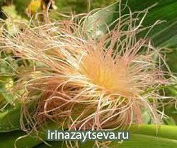 Кукурузные рыльца. Лечебные свойства. Противопоказания. Применение