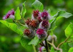 Маски для лица из лопуха – целебная сила растений