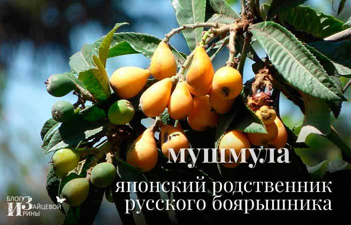 Мушмула – японский родственник русского боярышника