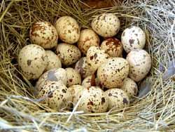 Перепелиные яйца. Польза и вред