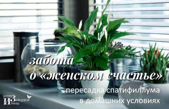 Размножение цветка женское счастье в домашних условиях