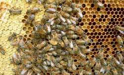 Пчелиная перга для иммунитета - секрет крепкого здоровья