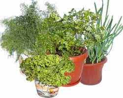 Как вырастить петрушку, укроп и шпинат на подоконнике?