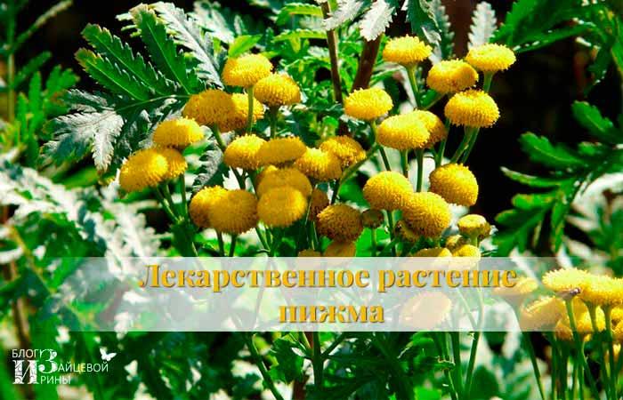Лекарственное растение пижма