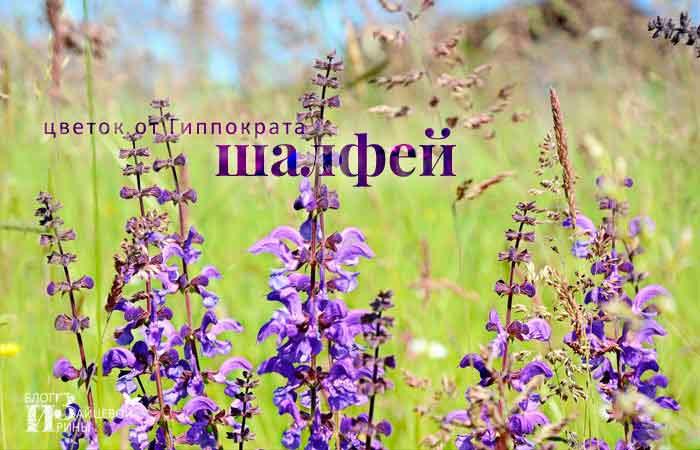Трава шалфей. Лечебные свойства и противопоказания