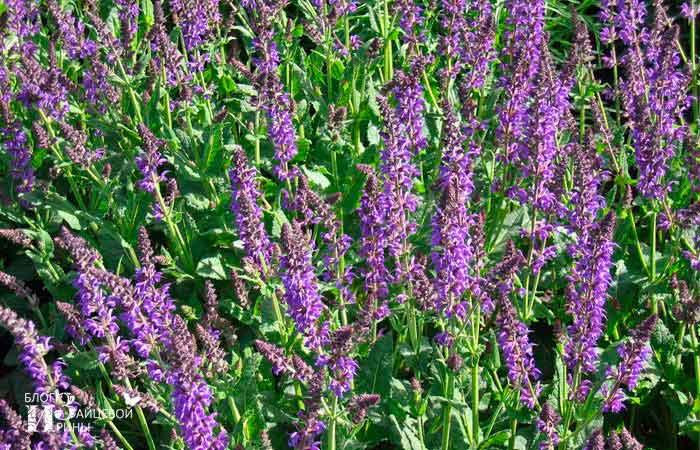 Шалфей фото растения