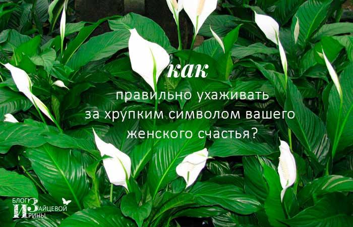 Описание женское счастье цветок