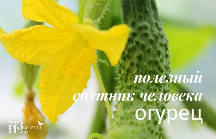 /polza-ogurcov-dlya-organizma-cheloveka.html