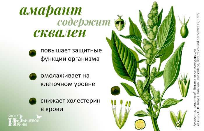 Амарант- сорта и виды с фото и описанием - Энциклопедия цветов