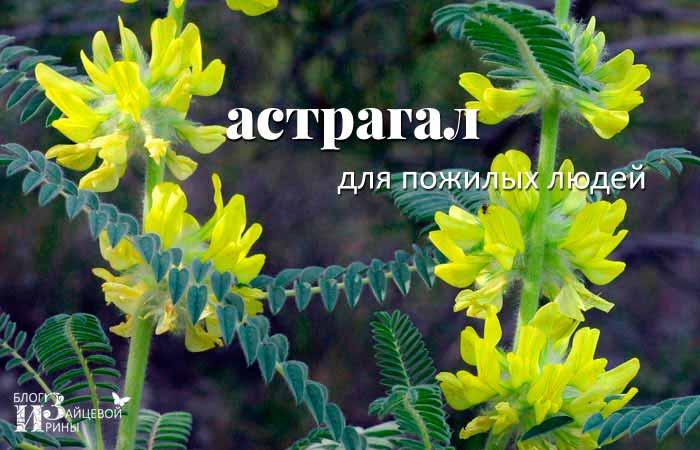Астрагала повислоцветковый лечебные свойства