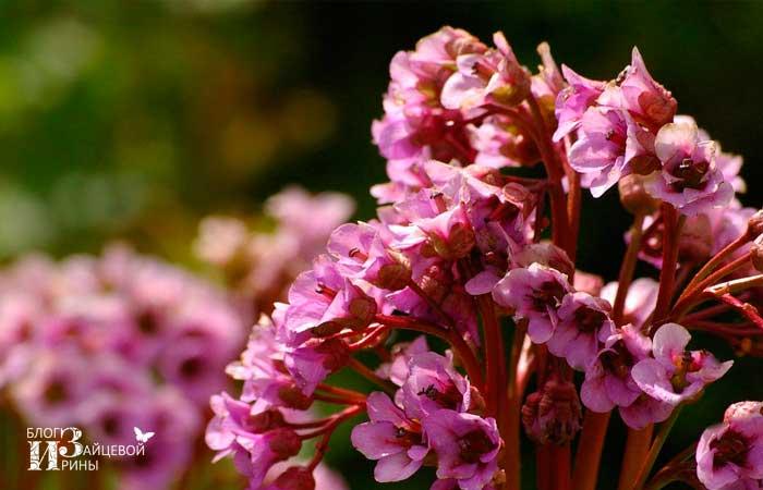 Цветок бадан фото 1