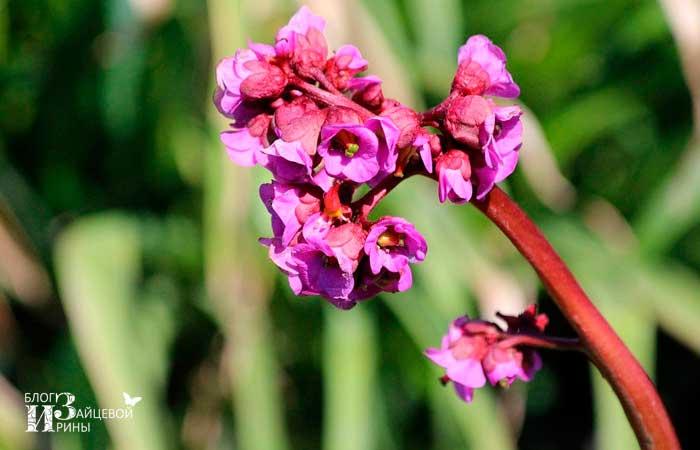 Цветок бадан фото 2