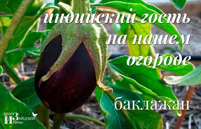 /baklazhany-polza-i-vred-dlya-zdorovya.html