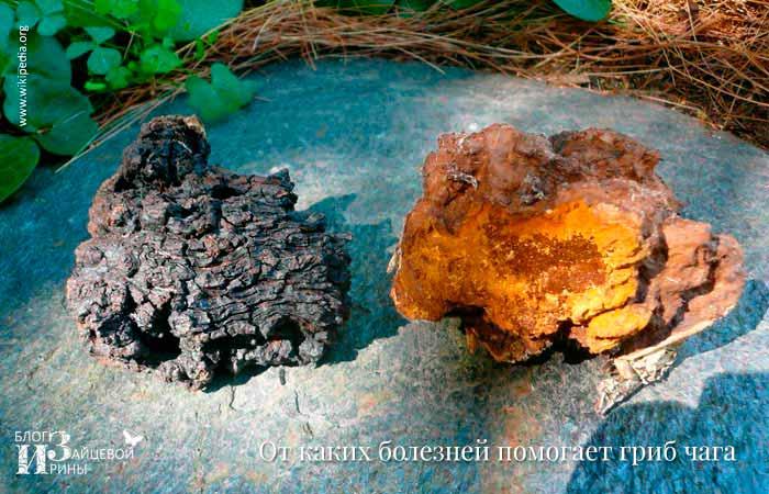 От каких болезней помогает гриб чага