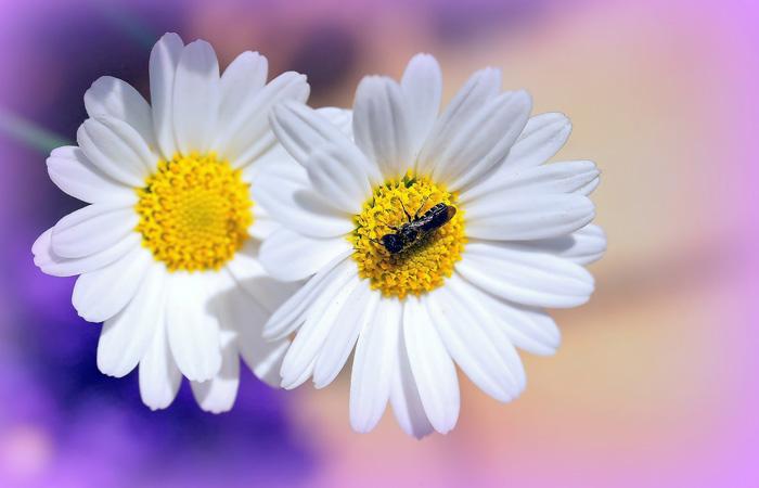 /romashki-krasivye-foto-cvetov.html