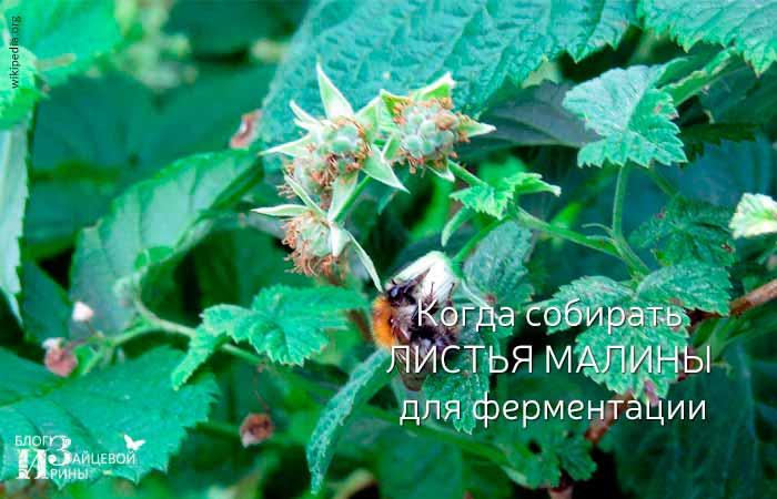 Когда собирать листья малины