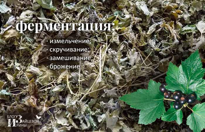 Как правильно ферментировать листья смородины