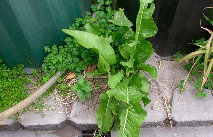 Хрен. Фото растения
