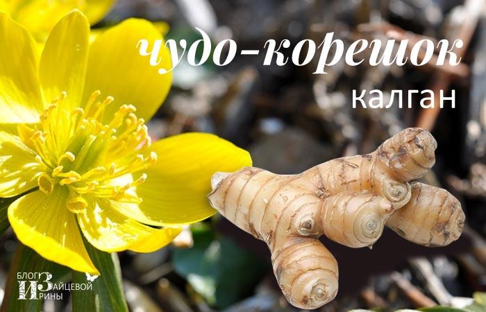 /kalgan-chudo-koreshok-dlya-nashego-zdorovya.html