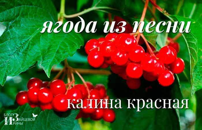 /kalina-krasnaya-poleznye-svojstva.html