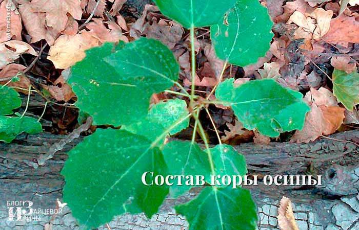 Состав коры осины