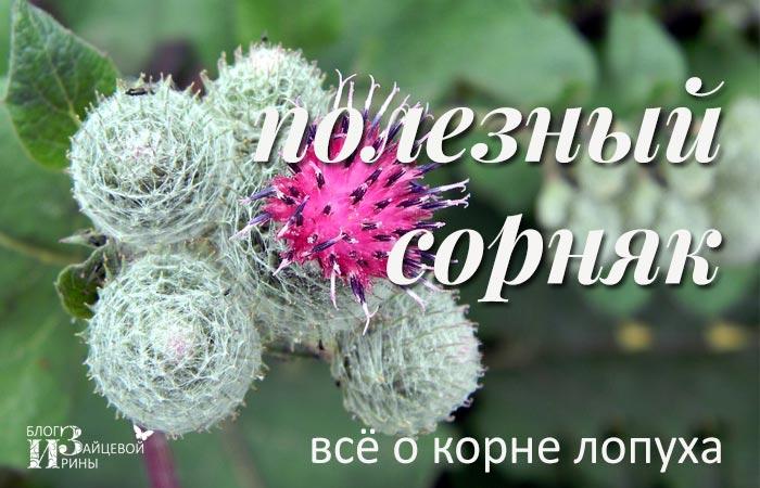 /koren-lopuxa-lechebnye-svojstva-protivopokazaniya.html