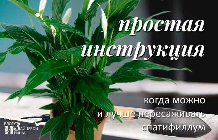 Пересадка цветка спатифиллум