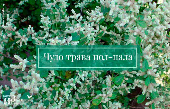 /chudo-trava-pol-pala-primenenie.html