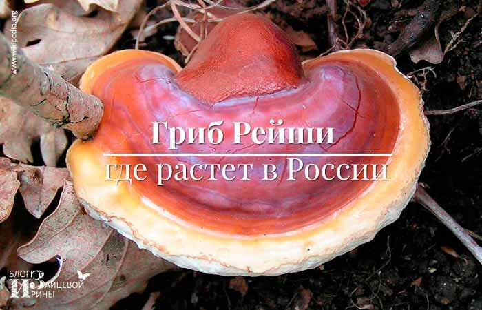 Где растет гриб Рейши