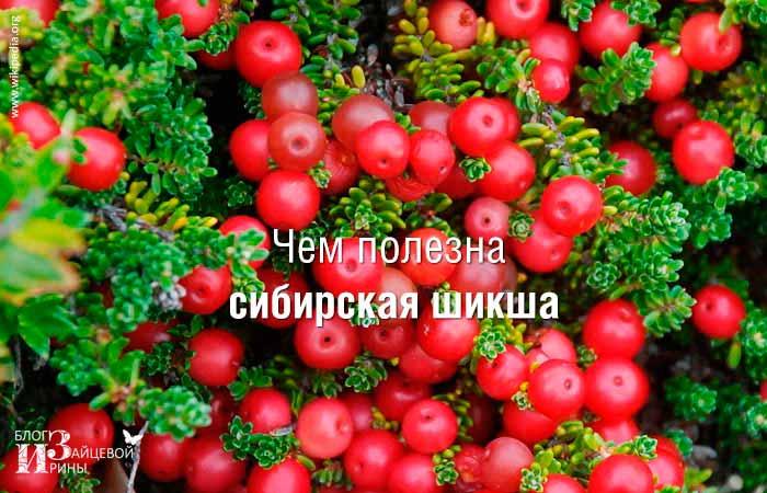 Сибирская шикша