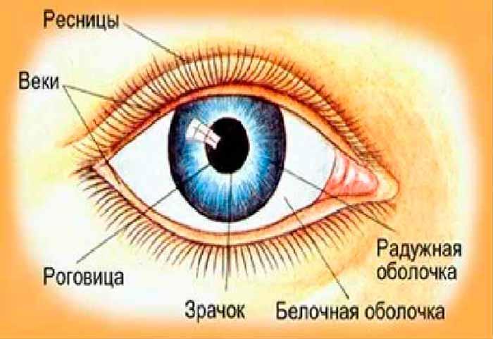 Белочная оболочка глаза