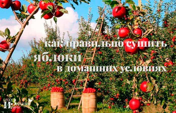 Как правильно сушить порезанные яблоки