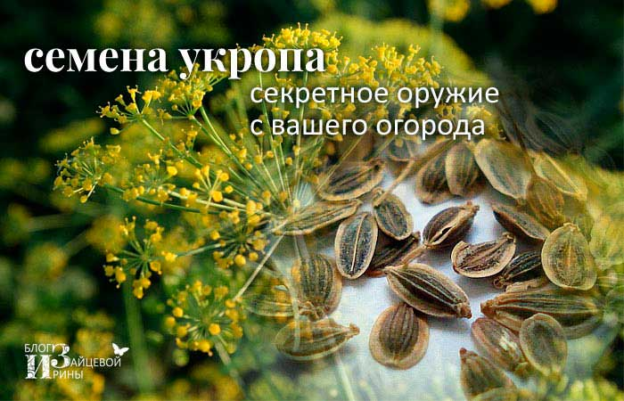 Семена укропа - лечебные свойства и противопоказания